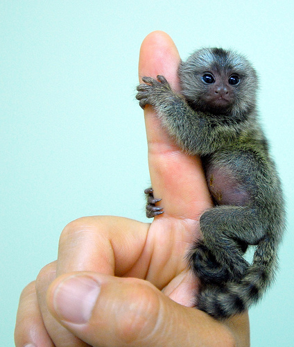 Baby marmoset on finger