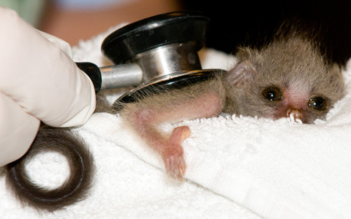 galago bush baby bushbaby stethoscope vet veterinarian woodland park zoo