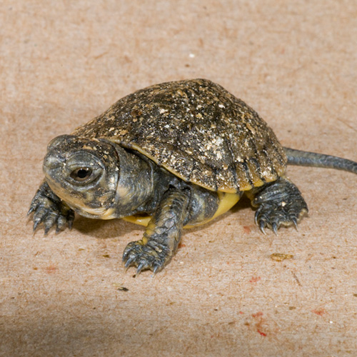 Hatching Turtles at the Woodland Park Zoo - ZooBorns