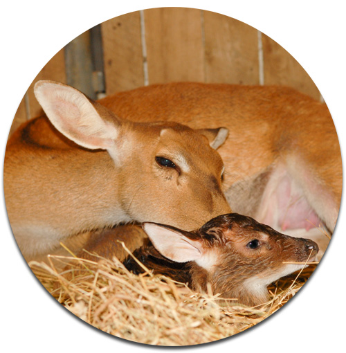 Elds Deer baby fawn and mother Smithsonian National Zoo