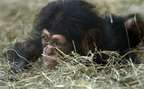 George chimpanzee baby chimp knoxville zoo