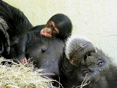 George chimpanzee baby chimp sleeping knoxville zoo
