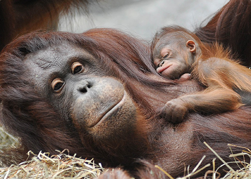 orangutan mom and sleeping baby at the brookfield zoo chicago illinois