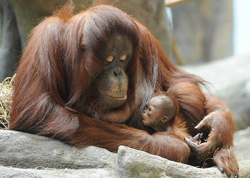 orangutan mom and baby nursing at the brookfield zoo