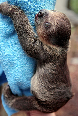 baby two toed sloth climbing chiba zoo japan
