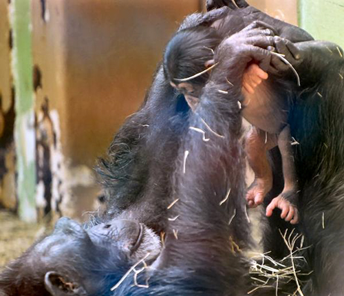 George chimpanzee baby chimp and mother climbing knoxville zoo