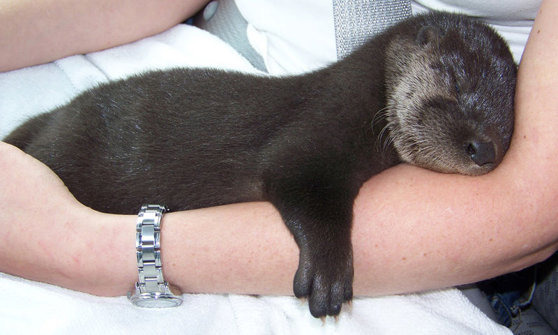 Eno the otter sleeping