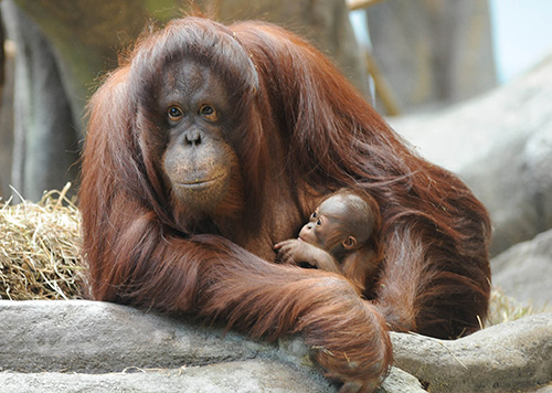 orangutan mom and baby at the brookfield zoo chicago illinois