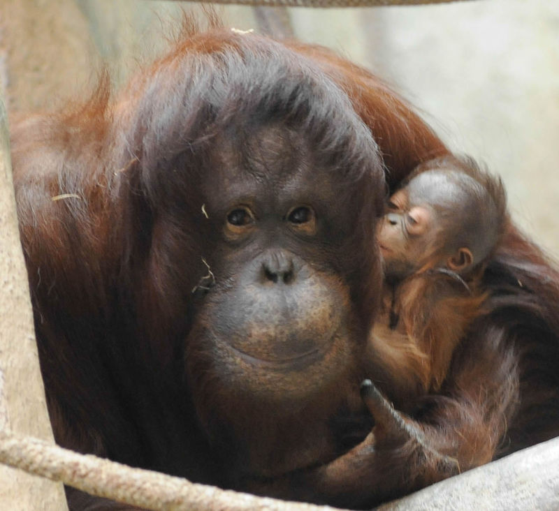 smiling orangutan mom and baby at the brookfield zoo chicago illinois
