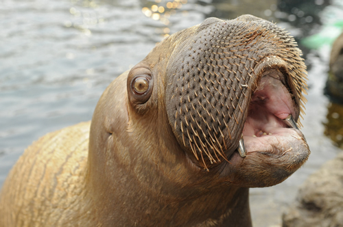 Walrus Baby With Bling at the New York Aquarium - Teeth capped in titanium