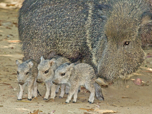 Chacoan Peccary with piglets