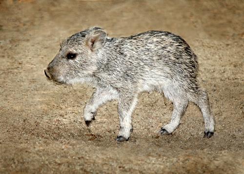 Peccary Piglet LA Zoo