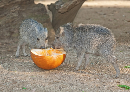 Peccary Piglets with Pumpkin