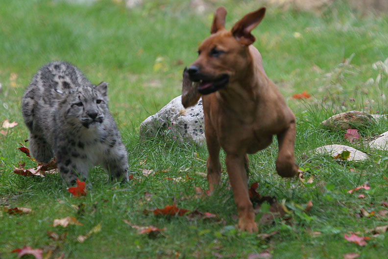 Snow Leopard And Puppy Running