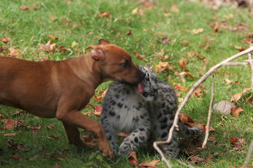 Snow leopard and puppy licking