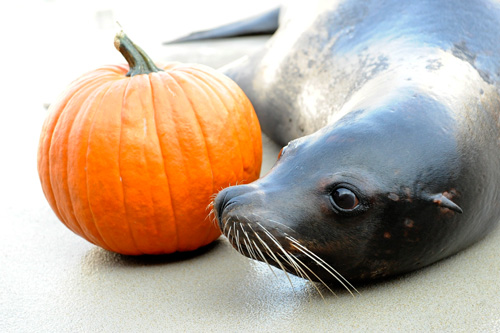 Sea-lion-and-pumpkinbyjlm