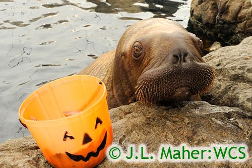 Walrus-baby-pumpkinbyjlm