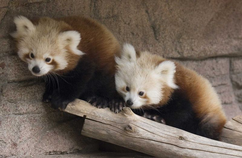 Red panda cubs on log denver zoo