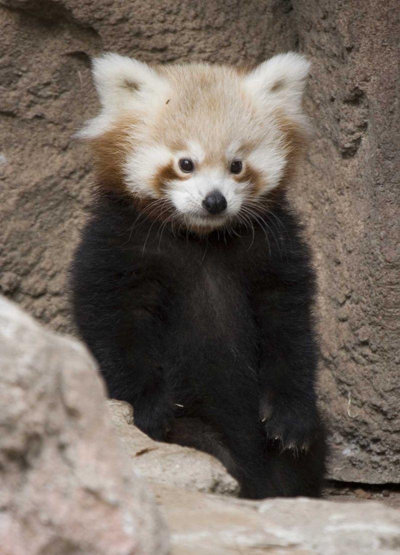 Redpanda cub standing denver zoo