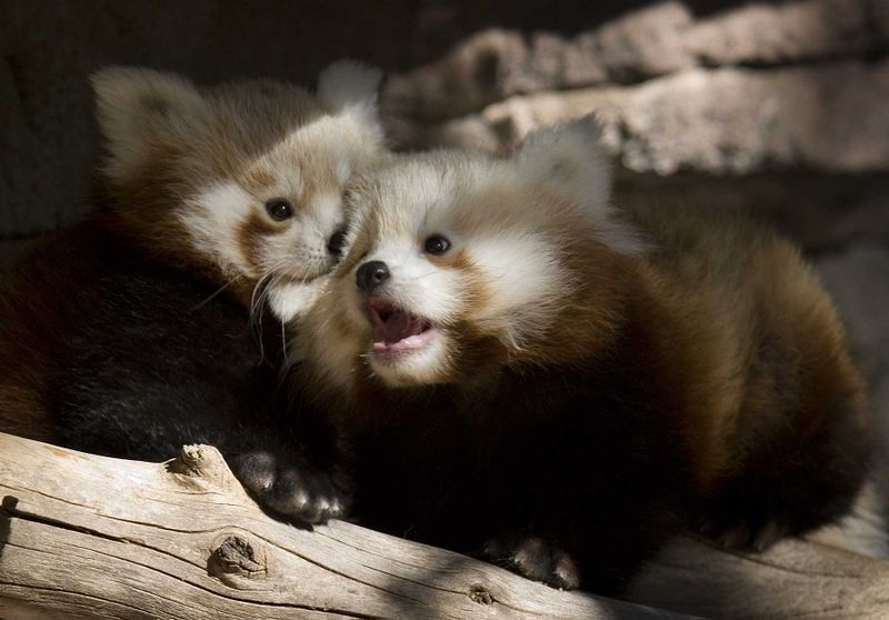 Red panda cub barking