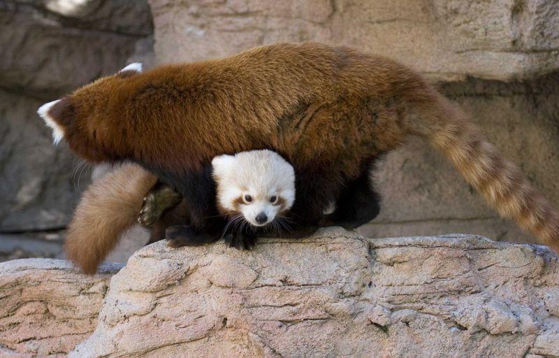 Red panda cub under mom denver zoo
