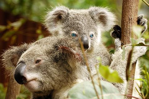 Dreamworld's-blue-eyed-koal
