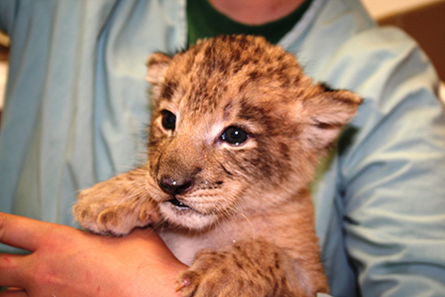 Lion-cub-riverbanks-zoo