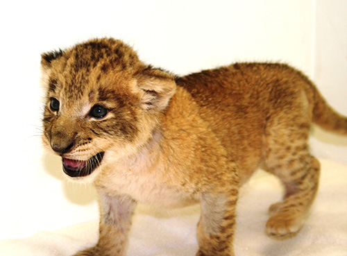 Lion-cub-riverbanks-zoo-gro
