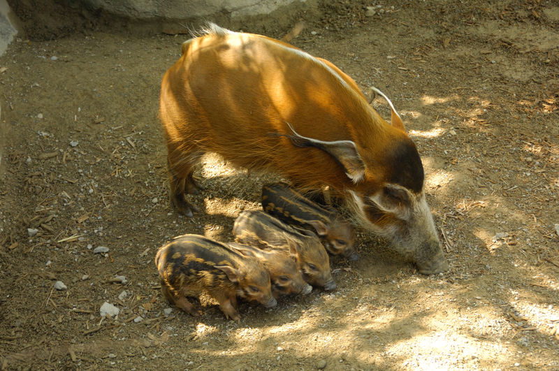 Red River Hog Babies Cincinnati Zoo