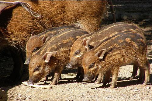 Red River Hogs Cincinnati Zoo