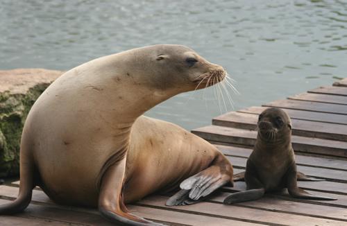 Longleat Safari Park Sea Lion Pup and Mom