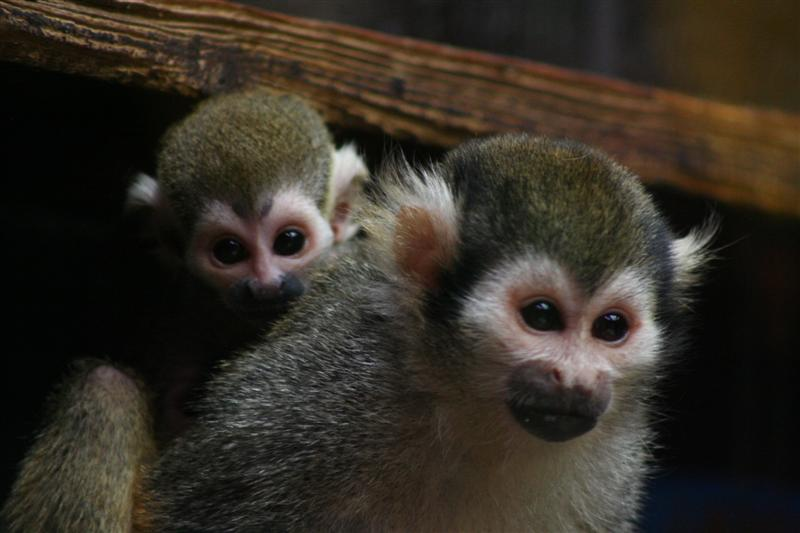 Baby Squirrel Monkey Peeking from Moms Back