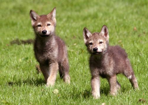 Grey wolf pups longleat safari park