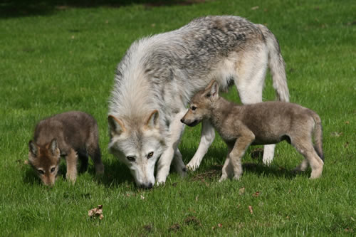 Grey wolf cubs longleat safari park with mom