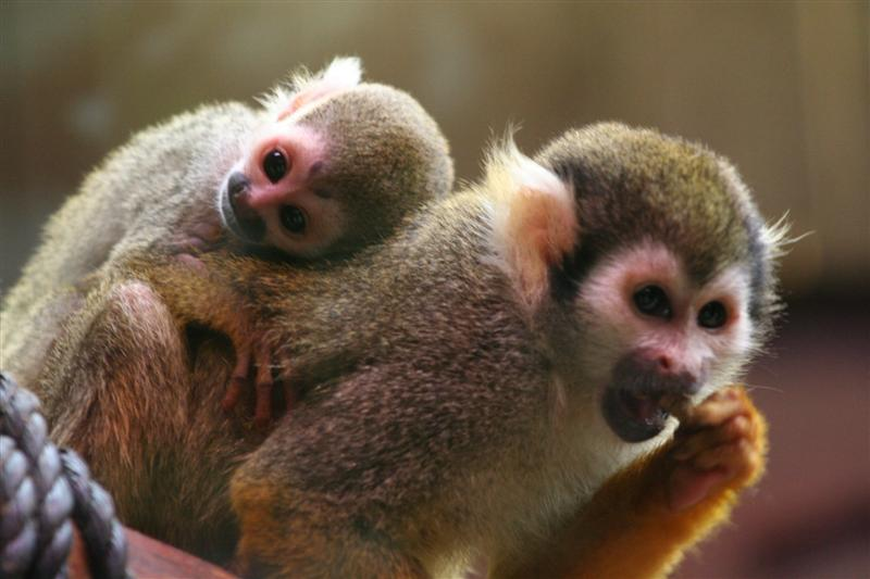 Baby Squirrel Monkey and Mom Colchester Zoo (Medium)