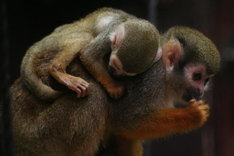 Baby Squirrel Monkey Sleeping on Mom
