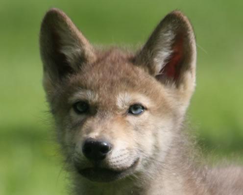 Grey wolf cub face profile longleat safari park