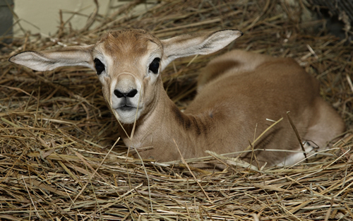 Baby Gazelle Smithsonian National Zoo Sitting