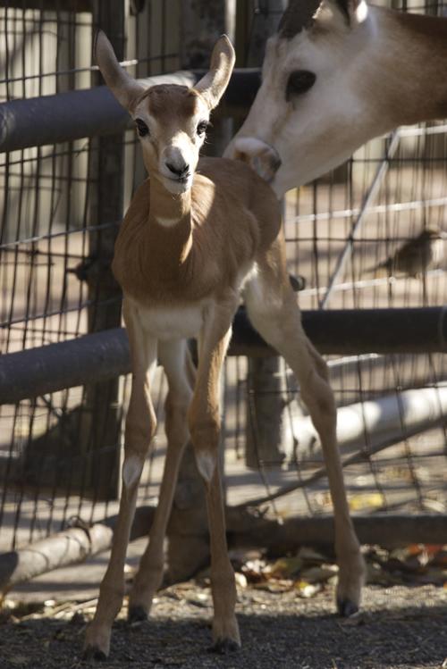 Baby Gazelle Smithsonian National Zoo standing with mom