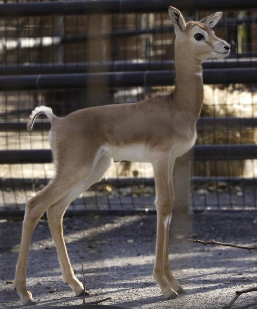 Baby Gazelle Smithsonian National Zoo standing profile