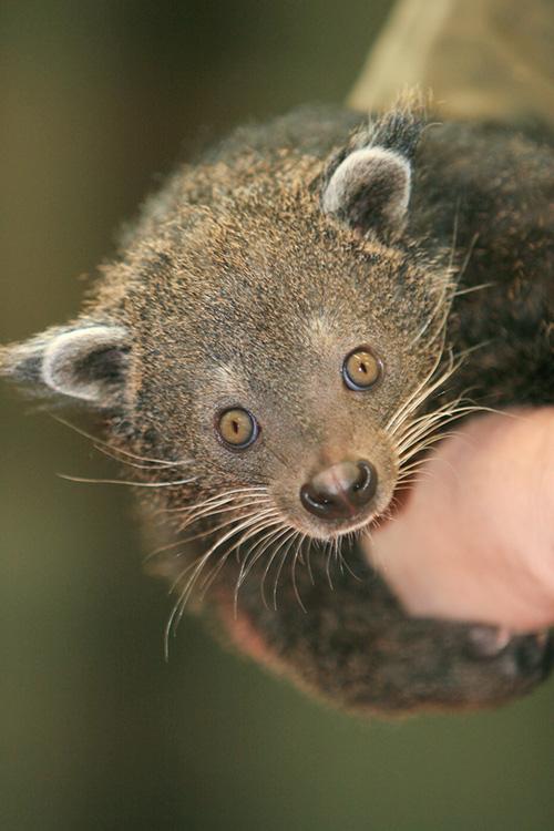 Bearcat1