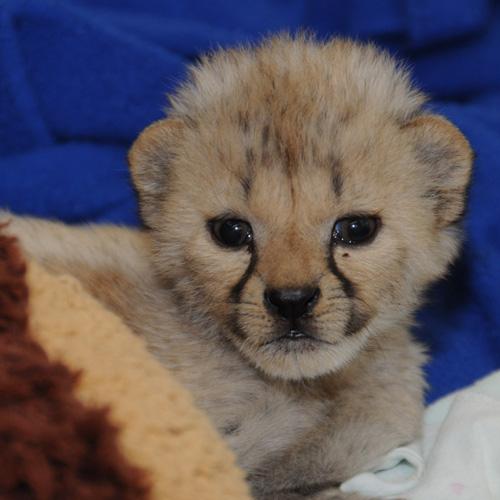 08-Cheetah--1059