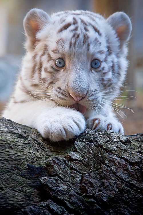 lowry park zoo welcomes birth of two new white tiger cubs zooborns