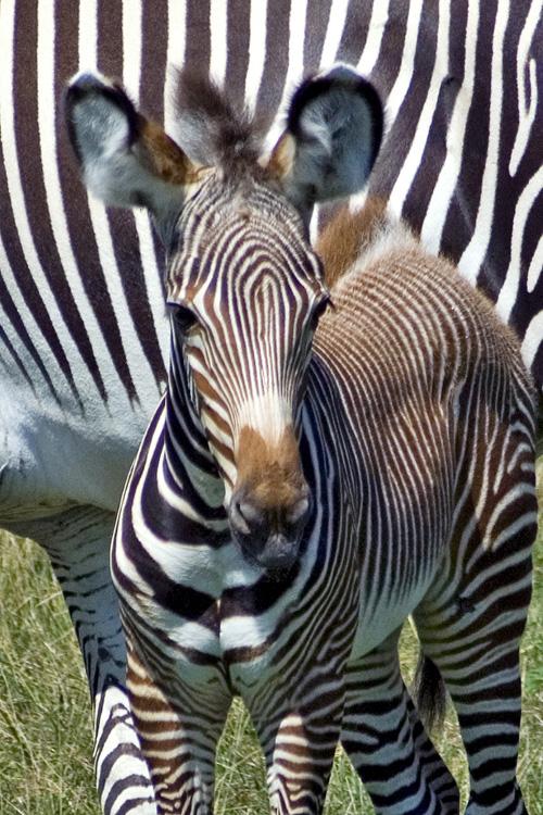 Baby-Zebra6075