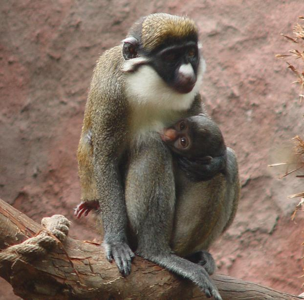 Baby guenon central florida zoo with mom 2
