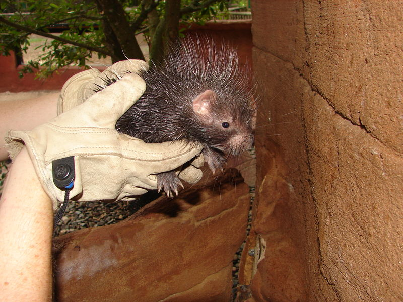 Baby porcupine central florida zoo 1
