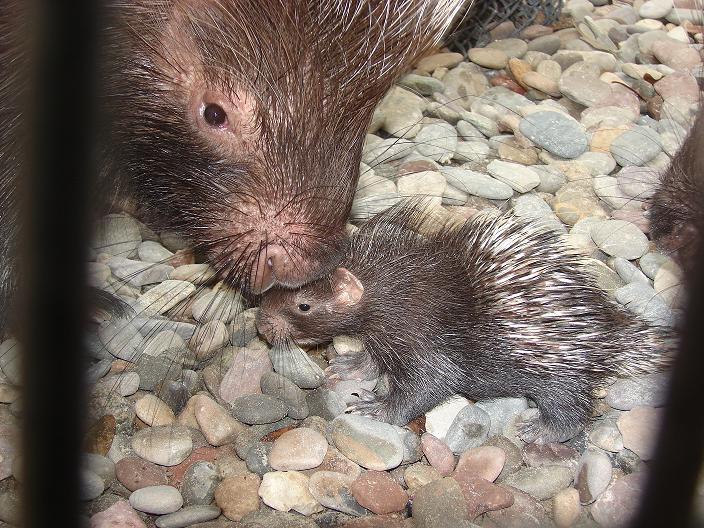 Baby porcupine central florida zoo with mom
