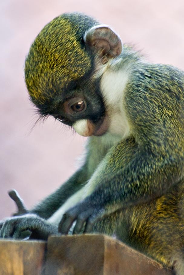 Baby guenon central florida zoo