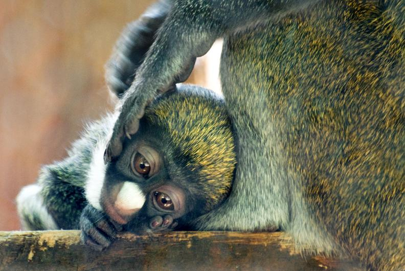 Baby guenon central florida zoo with mom