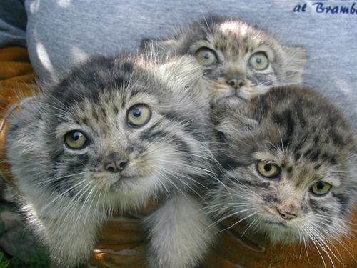 Pallas-kittens-3